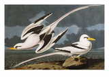 Tropic Bird (Phaeton Athreus)  Plate Cclxii  from 'The Birds of America'