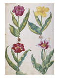 Tulips from &#39;Camerarius Florilegium&#39;