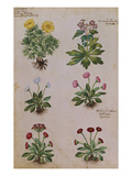 Ranunculus and Daisies from &#39;Camerarius Florilegium&#39;