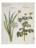 Hemerocallis Valentina and Geranium from &#39;Camerarius Florilegium&#39;