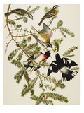 Rose-Breasted Grosbeak (Pheuticus Ludovicianus)  Plate Cxxvii  from 'The Birds of America'