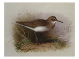 A Common Sandpiper
