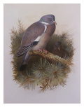 A Wood Pigeon or Ring Dove
