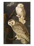 Snowy Owl (Nyctea Scandiaca), Plate Cxxi, from 'The Birds of America' Giclée par John James Audubon