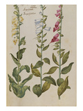 Foxgloves from 'Camerarius Florilegium'