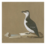 Study of a Razorbill