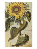 Sunflower from 'Camerarius Florilegium'