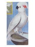 A Cockatoo from 'Histoire Des Oiseaux  Peints Dans Tous Leurs Aspects'