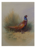 A Cock Pheasant