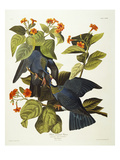 White-Crowned Pigeon (Columba Leucocephala)  Plate Clxxvii  from 'The Birds of America'