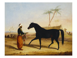 A Dark Bay Arab Stallion and Groom by an Encampment