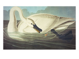Trumpeter Swan (Olor Buccinator)  Plate Ccccvi  from 'The Birds of America'