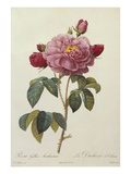 Rosa Gallica Aureliansis - La Duchesse D&#39;Orleans from &#39;Les Roses&#39;
