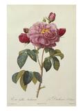 Rosa Gallica Aureliansis - La Duchesse D'Orleans from 'Les Roses'