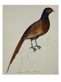 A Pheasant (Phasianus Colchicus)