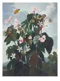 Oblique Leaved Begonia   from &#39;New Illustrations of the Sexual System of C
