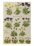 Pansies and Violas from 'Camerarius Florilegium'