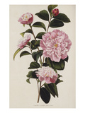 Camellia  from 'The Botanical Cabinet  Consisting of Coloured Delineations of Plants from All…