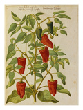 Indian Pepper from &#39;Camerarius Florilegium&#39;