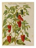 Indian Pepper from 'Camerarius Florilegium'