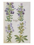 Campanulas from &#39;Camerarius Florilegium&#39;