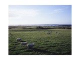 Sheep grazing at Royal Portrush Golf Club