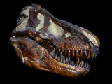 A Genuine Fossilized Skull of a T Rex