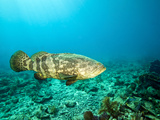 A Goliath Grouper Effortlessly Floats by a Shipwreck Off the Coast Key Largo  Florida