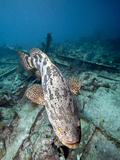 A Goliath Grouper Effortlessly Floats over a Shipwreck Off the Coast Key Largo  Florida