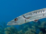 Close-Up View of a Great Barracuda