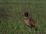 Portrait of a Male Pheasant  Phasianus Colchicus