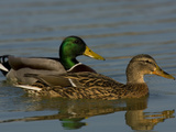 Male and Female Mallard Ducks  Anas Platyrhynchos  Swimming
