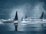 Orca (Orcinus Orca) Group Surfacing  Johnstone Strait  British Columbia  Canada