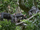After Morning Feeding  Sated Chimps Socialize in the Canopy