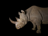A Female Eastern Black Rhino  Diceros Bicornis Michaeli  Named Imara