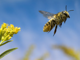 Leaf-Cutting Bee (Megachile Sp) Departing a Goldenrod Flower (Solidago Sp)  North America