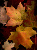 A Group of Maple Leaves in Fall Colour