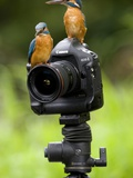 Adult Common Kingfisher Couple  Alcedo Atthis  on a Camera