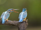 Female Squawks at Male Common Kingfisher  Alcedo Atthis