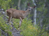 Portrait of a White-Tailed Deer  Odocoileus Virginianus