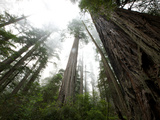 A Redwood Tree Canopy in Prairie Creek Redwoods State Park