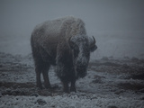A Bison Standing in a Snowstorm in Yellowstone National Park