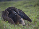 Giant Anteater  Myrmecophaga Tridactyla  Carrying Baby on Her Back