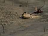 A Mudskipper Fish on a Tidal Flat