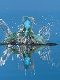 An Adult Male Common Kingfisher  Alcedo Atthis  Dives into the Water