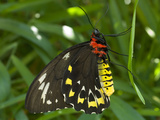 A Cairns Birdwing Butterfly Resting on a Slender Leaf