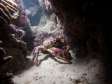 A King Crab Comes Out of Hiding at Night to Search for Food