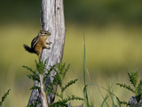 A Least Chipmunk  Tamias Minimus  at Rest on a Tree Limb