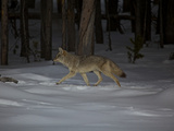 A Coyote in the Snow in Yellowstone National Park