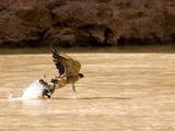 A Peregrine Falcon Picks a Duck Out of the Colorado River